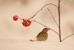 Lied-Drossel, die eine Beere auf Schnee isst Stockfotos