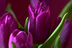 Eine lila Tulpenknospe Makro Lila Tulpen Knospe, Blumenblätter, Blumenstrauß Stockbilder