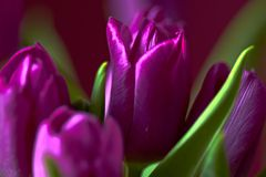 Eine lila Tulpenknospe Makro Lila Tulpen Knospe, Blumenblätter, Blumenstrauß Lizenzfreie Stockfotos