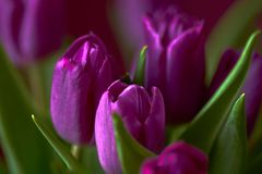 Eine lila Tulpenknospe Nahaufnahme Lizenzfreie Stockbilder