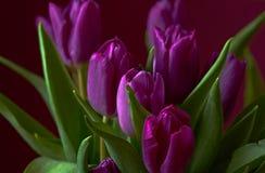 Eine lila Tulpenknospe Nahaufnahme Lizenzfreie Stockfotos
