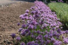 Eine Linie von purpurrote flaumige Blumen dicht wachsen schlie?en oben in der sonnigen Fr?hlingsbeleuchtung lizenzfreies stockbild