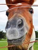 Eine lustige lächelnde Gesichts-Pferden-Kopf-Nahaufnahme des Nasenloches Lizenzfreie Stockfotografie