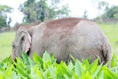 Eine männliche Elefantstellung auf dem Gebiet lizenzfreie stockfotografie