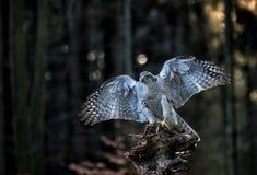 Eine männliche Landung des Hühnerhabichts (Accipiter gentilis) auf dem Stumpf im Wald Stockfotografie