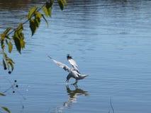 Eine Möve, die auf Wasser geht Stockfotos
