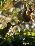 Eine Macaquefamilie, die Neigung für eachother zeigt Stockfoto