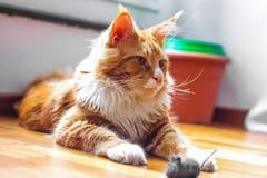 Eine Maine Coon-Katze Lizenzfreie Stockbilder