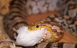 Eine Mais-Schlange, die eine Maus isst lizenzfreie stockfotos