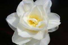Eine Makroansicht einer blühenden Amaryllisblume lizenzfreie stockfotografie