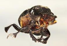 Eine Makroansicht eines Scarabäus-Käfers Stockbild