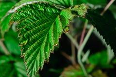 Eine Makrophotographie eines grünen Blattes mit Tau Stockfotos