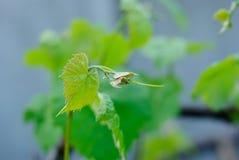 Eine Makrophotographie von grüne Weinblätter Lizenzfreie Stockfotos