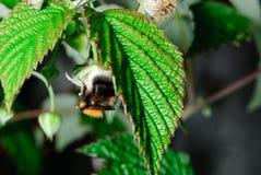 Eine Makrophotographiebiene auf Grünpflanze Stockbilder