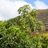 Eine Mangofrucht Lizenzfreies Stockfoto