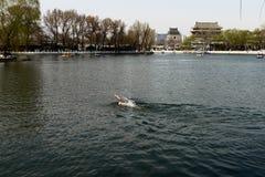 Eine Mannschwimmen in houhai See von Peking lizenzfreie stockfotos