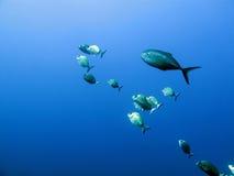 Eine Masse von Fischen Lizenzfreie Stockfotos