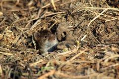 Eine Maus, die aus seinem Loch heraus schaut Lizenzfreie Stockfotos
