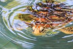 Eine Meeresschildkröte Lizenzfreie Stockbilder