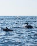 Eine Menge der Delphine, die im Meer schwimmen Lizenzfreies Stockbild