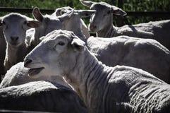 Eine Menge der Schafe Lizenzfreie Stockfotos