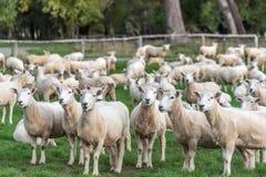Eine Menge der Schafe Lizenzfreie Stockfotografie