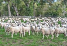Eine Menge der Schafe Lizenzfreies Stockfoto