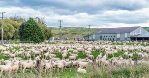 Eine Menge der Schafe Lizenzfreies Stockbild