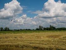 Eine Menge der Taube und der mynas auf dem Reisgebiet mit blauem Himmel lizenzfreies stockbild