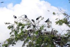 Eine Menge des offenen berechneten Storchvogels hocken am Baum auf blauem Himmel und weißem Wolkenhintergrund lizenzfreie stockfotos