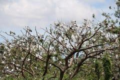 Eine Menge des offenen berechneten Storchvogels hocken am Baum auf blauem Himmel und weißem Wolkenhintergrund stockbilder