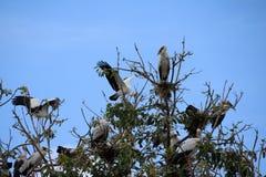 Eine Menge des offenen berechneten Storchvogels hocken und geflügelt am Baum auf blauem Himmel und weißem Wolkenhintergrund lizenzfreies stockfoto