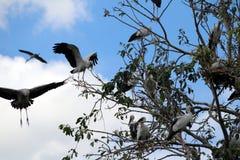 Eine Menge des offenen berechneten Storchvogels hocken und geflügelt am Baum auf blauem Himmel und weißem Wolkenhintergrund stockfotos
