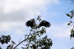 Eine Menge des offenen berechneten Storchvogels hocken und geflügelt am Baum auf blauem Himmel und weißem Wolkenhintergrund stockbilder