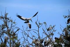 Eine Menge des offenen berechneten Storchvogels hocken und geflügelt am Baum auf blauem Himmel und weißem Wolkenhintergrund lizenzfreie stockfotos