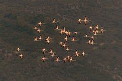 Eine Menge des wilden Flamingos im Flug, Lesvos, Griechenland Lizenzfreies Stockbild