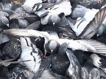 Eine Menge von blauen Tauben, Flügel verbreitete weit stockfotografie