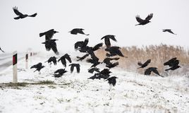 Eine Menge von den Krähen, die über die gefrorenen Felder fliegen Lizenzfreie Stockfotos