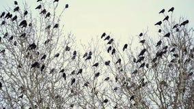 Eine Menge von den schwarzen Krähen, die auf einem Baum sitzen stock video
