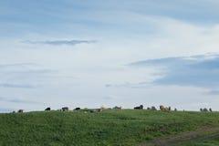 Eine Menge von den Ziegen, die in einem Gewann weiden lassen Lizenzfreies Stockbild
