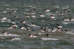 Eine Menge von Dunkel-aufgeblähtem Brent Geese auf dem Meer Stockbilder