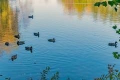Eine Menge von Enten mit den Schnäbeln von verschiedenen Farben schwimmt in einen Teich mit Spiegeltrinkwasser Lizenzfreie Stockfotos