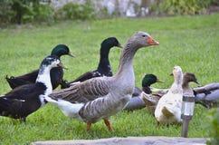 Eine Menge von Enten und von Gänsen draußen auf Gras Lizenzfreies Stockfoto