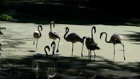 Eine Menge von Flamingos gehen zusammen auf eine sumpfige Seebank stock footage
