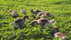Eine Menge von Gänsen lässt auf dem grünen Gras weiden stock video