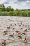 Eine Menge von Gänsen schwimmen auf einen Kanal im englischen Norfolk Broads Lizenzfreies Stockfoto