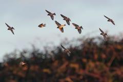 Eine Menge von gemeinen Hänflingen im Flug Früher Morgen-Sonnenlicht Stockfotos