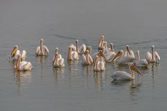 Eine Menge von großen Pelikanen auf dem Wasser Lizenzfreies Stockfoto