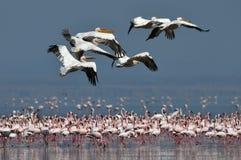Eine Menge von großen weißen Pelikanen fliegt über die Kolonie weniger Flamingos Wissenschaftlicher Name: Pelecanus onocrotalus S stockbild