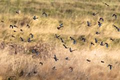 Eine Menge von Hänflingen im Flug auf Migration Stockbild